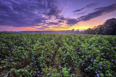 Photograph - Cotton by JC Findley
