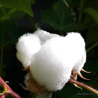 Photograph - Cotton No2 by Kume Bryant