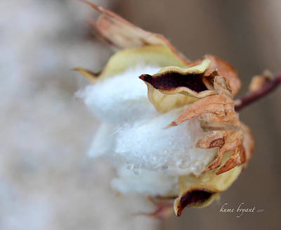 Photograph - Cotton No3 by Kume Bryant