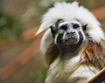 Photograph - Cotton-top Tamarin _ 1a by Walter Herrit