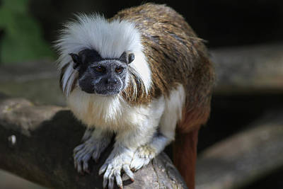 Outerspace Patenets Rights Managed Images - Cotton-topped Tamarin  Royalty-Free Image by Chris Smith