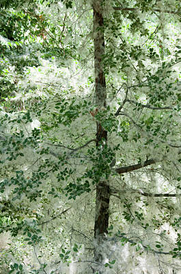 Photograph - Cotton Wood Trees by Carolyn Dalessandro