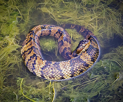 Cottonmouth Art Print by Brian Wallace