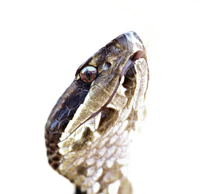 Photograph - Cottonmouth Closeup  by JC Findley