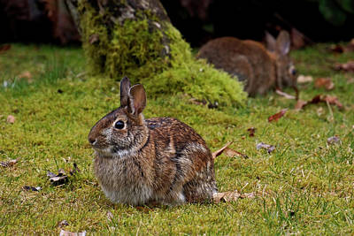 Photograph - Cottontail - 365-355 by Inge Riis McDonald