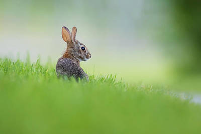 Photograph - Cottontail Baby by Mircea Costina Photography