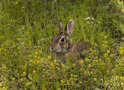 Peter Rabbit Photograph - Cottontail In Yellow Clover by Robert Frederick