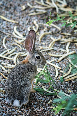 Photograph - Cottontail Rabbit 4320-080917-1 by Tam Ryan
