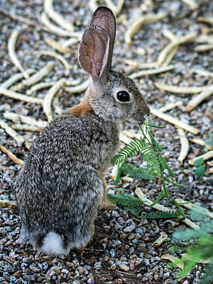 Photograph - Cottontail Rabbit 4320-080917-2cr by Tam Ryan