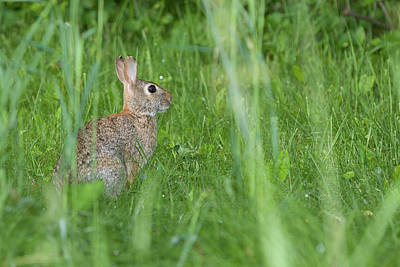 Photograph - Cottontail Rabbit by Bernard Lynch