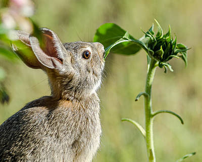 Photograph - Cottontail Rabbit Eating A Sunflower Leaf by John Brink