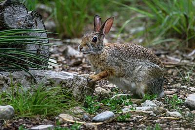 Photograph - Cottontail Rabbit Hopping Along The Trail by Debra Martz
