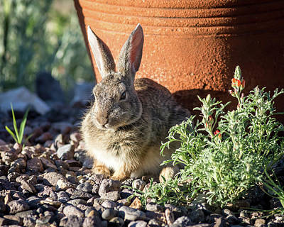 Photograph - Cottontail Rabbit In The Garden by John Brink