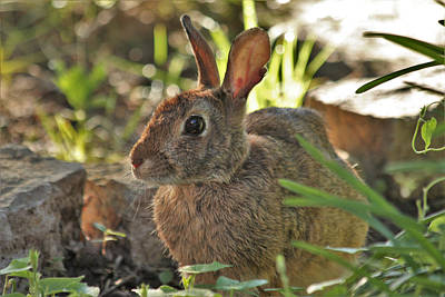 Photograph - Cottontail Rabbit by Sheila Brown