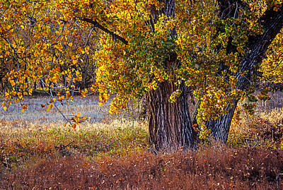 Photograph - Cottonwood #6 Fountain Creek, Colorado In Fall by John Brink
