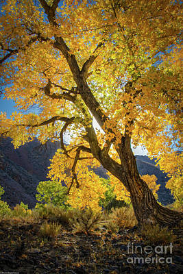 Photograph - Cottonwood Autumn by Mitch Shindelbower