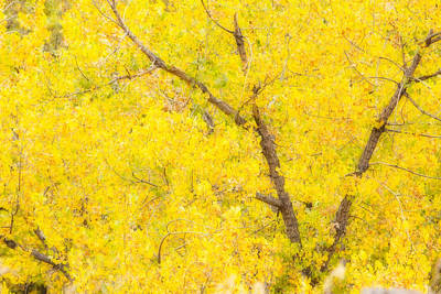 Fall Foliage Photograph - Cottonwood Colors  by James BO  Insogna