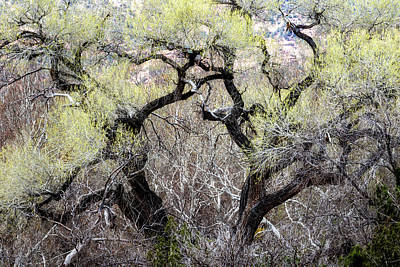 Photograph - Cottonwood In Spring by Belinda Greb