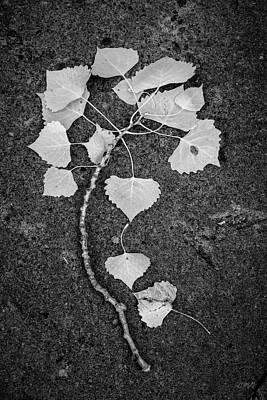 Photograph - Cottonwood Leaves Bw by David Gordon
