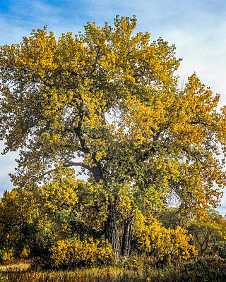 Photograph - Cottonwood Tree # 12 In Fall Colors In Colorado by John Brink