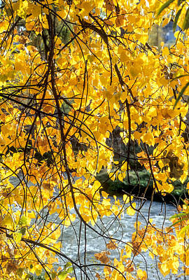 Photograph - Cottonwood Tree Along The River by John Brink