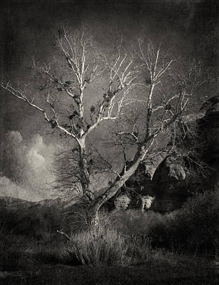 Photograph - Cottonwood Tree Bw by Sandra Selle Rodriguez