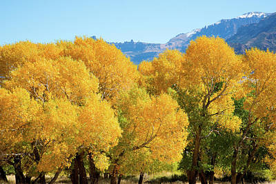 Photograph - Cottonwoods In All Their Glory by Frank Madia