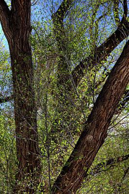 Photograph - Cottonwoods by Steve Gravano