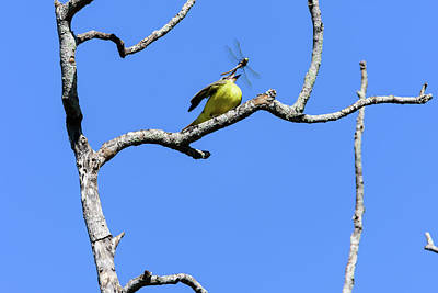 Photograph - Couch's Kingbird - Dragonfly Tossing by Debra Martz