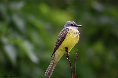 Photograph - Couch's Kingbird by James Petersen