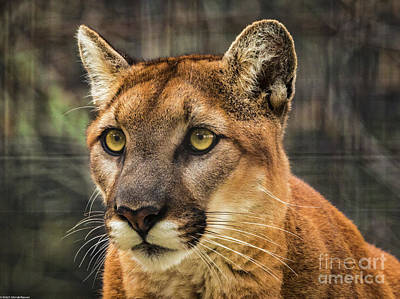 Photograph - Cougar 2 by Mitch Shindelbower
