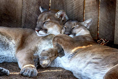 Photograph - Cougar Brothers by John Haldane
