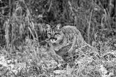 Photograph - Cougar Cub by Wes and Dotty Weber