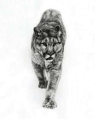 North Drawing - Cougar by Heather Theurer