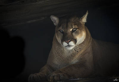 Photograph - Cougar In A Cave by Philip Rispin