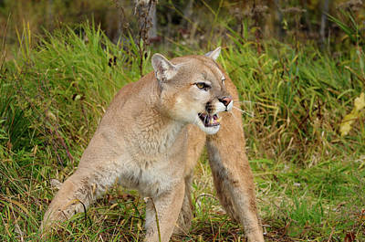 Cougar Photograph - Cougar In A Forest Clearing In The Fall With Open Mouth Showing  by Reimar Gaertner