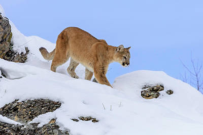Photograph - Cougar In The Snow by Jack Bell