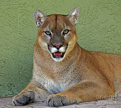 Photograph - Cougar by Larry Nieland