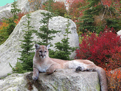 Cougar On Rock Art Print by Robert Bissett