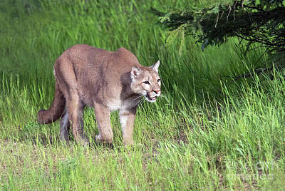 Photograph - Cougar On The Prowl by Art Cole