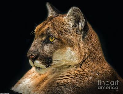 Photograph - Cougar Portrait by Mitch Shindelbower