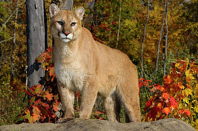 Cougar Photograph - Cougar Staring While Standing On A Rock In An Autumn Forest With by Reimar Gaertner