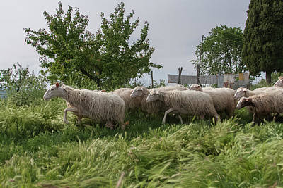 Photograph - Counting Sheep by Kathleen McGinley