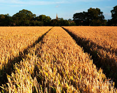Country Evening Corn Field Original