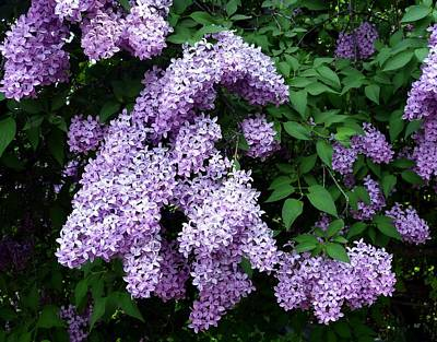 Photograph - Country Lane Lilacs 1 by Will Borden