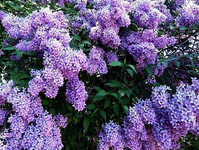 Photograph - Country Lane Lilacs 2 by Will Borden