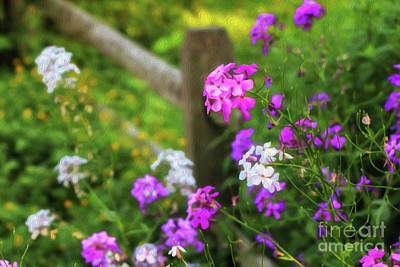 Photograph - Country Phlox Oil Painting by Elizabeth Dow