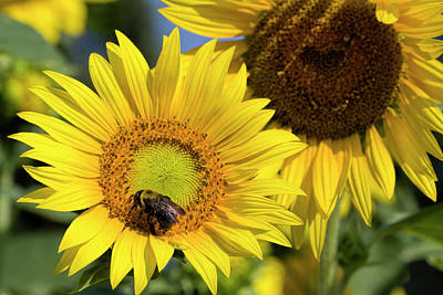 Photograph - Country Sunflowers And Bumble Bee by Kathy Clark