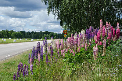 Photograph - Countryside With Lupines by Kennerth and Birgitta Kullman