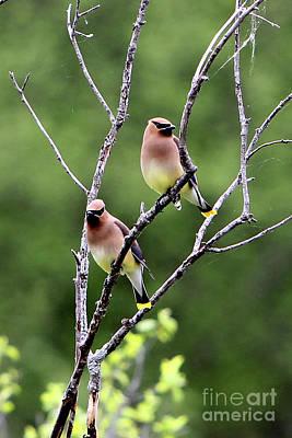 Photograph - Couple Cedar Waxwing by Marle Nopardi